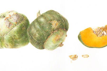 <i>Cucurbita maxima</i>