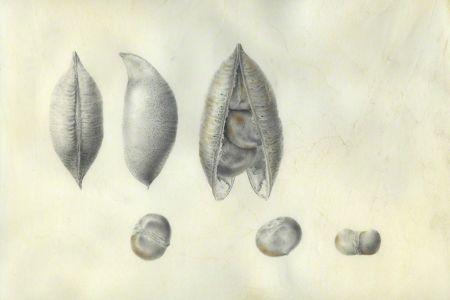 <i>Castanospermum australe</i>, fruit