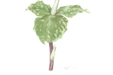 <i>Trillium sessile</i>L.